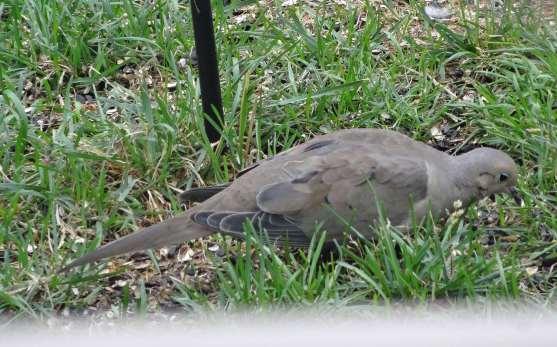 dove (Copy)